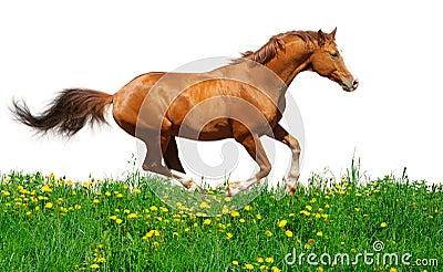 Lo stallion di Trakehner galoppa nel campo