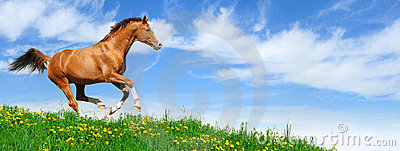 Lo Stallion galoppa nel campo