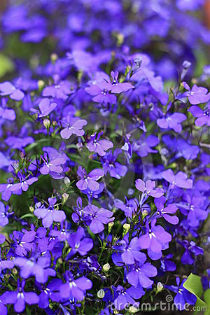 Free Lobelia Stock Photo - 12186850