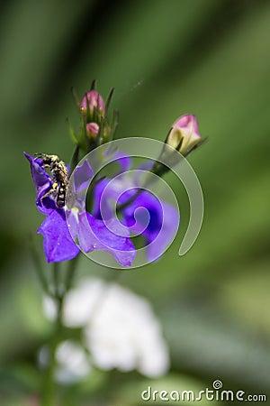Lobelia and bee