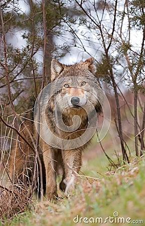 Lobo de madeira na escova