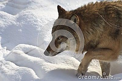 Lobo en el vagabundeo