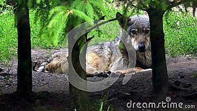 Lobo europeu na floresta filme