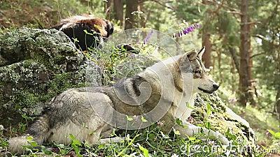 Lobo gris hermoso que pone en las rocas, teniendo resto, fauna almacen de video