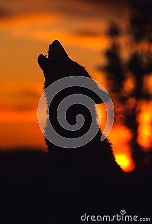 Lobo gris que grita en la salida del sol