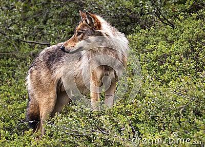 Lobo no parque de Denali - Alaska.