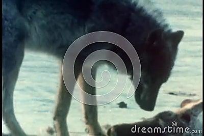 Lobo que come a carcaça do caribu filme