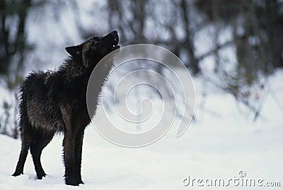 Lobo que grita en nieve