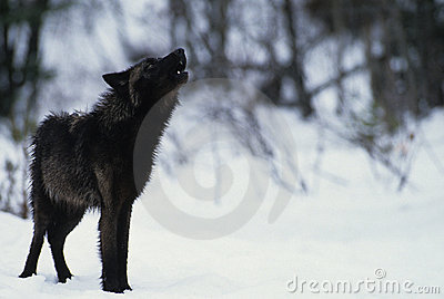 Lobo que urra na neve