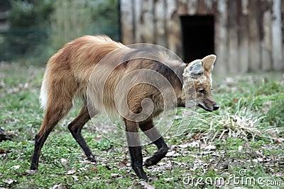 Lobo vermelho