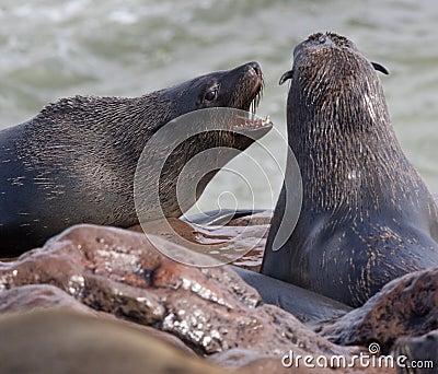 Lobos marinos del cabo (pusillus del Arctocephalus)