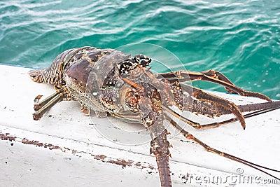 Lobster caught in the sea. Cuba