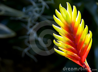 Lobster Claw plant (Heliconia rostrata)