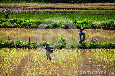 Local people plant a rice Editorial Image