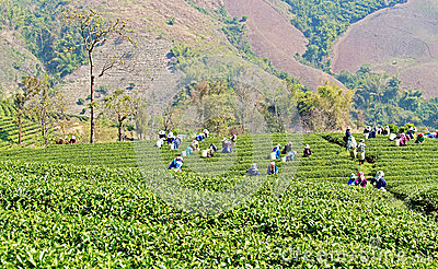 Local people working on tea field harvesting