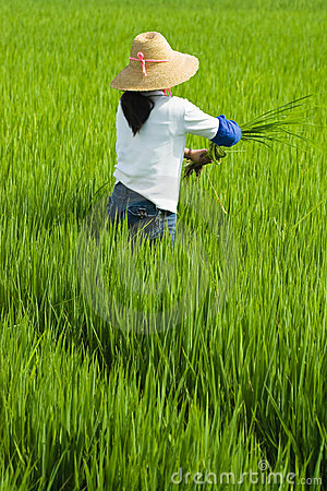 Local woman working in rice paddy