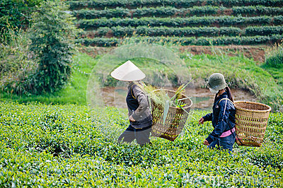 Local women carry basket on the tea field