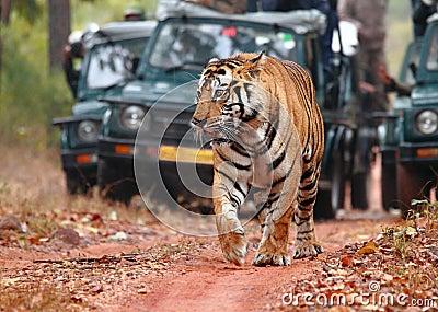 Localización del tigre en safari