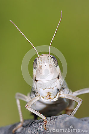 Free Locust Stock Photography - 41925772