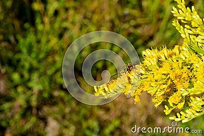 beetle goldenrod