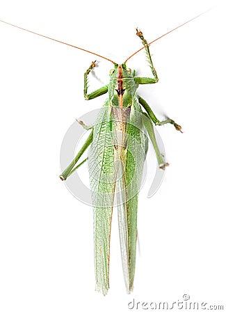 Locust isolated