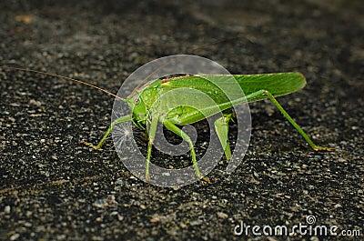 Locust laying eggs