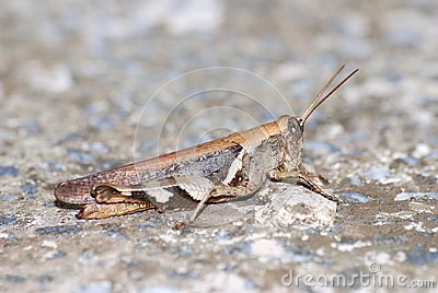 Locust with protective coloration