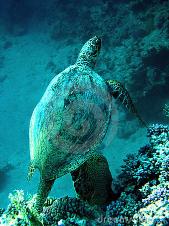 Loggerhead Overzeese Schildpad