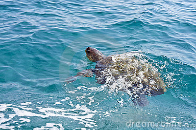 The Loggerhead Sea Turtle