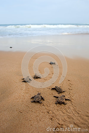 Free Loggerhead Sea Turtle Emergence Stock Photography - 25105972