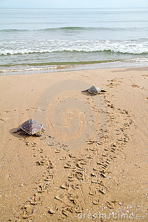 Free Loggerhead Sea Turtles (Caretta Caretta) Stock Image - 15516621