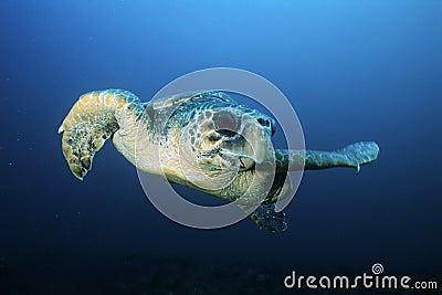 Loggerhead turtle (caretta caretta) drifting