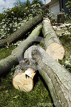 Logs Cut from Fallen Tree