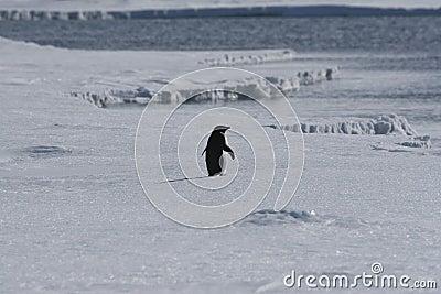 Lone adelie penguin