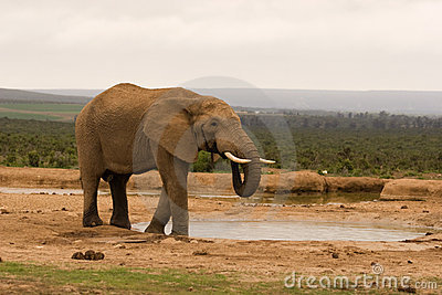 Lone bull elephant drinking at a water hole