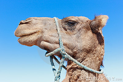 Lone Camel with blue sky