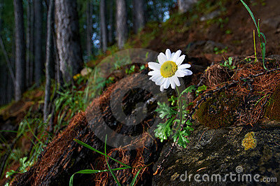 Lone chamomile in a mountain forest