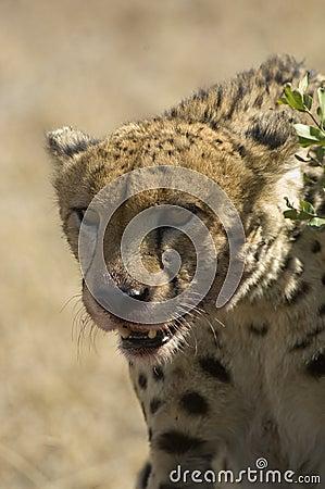 Lone Cheetah with kill