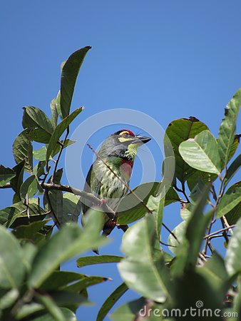 Free Lone Copper-Smith Barbet Stock Photo - 134246700