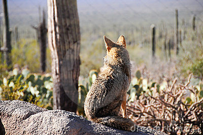 Lone Coyote