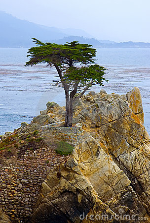 Lone Cypress Tree Editorial Image