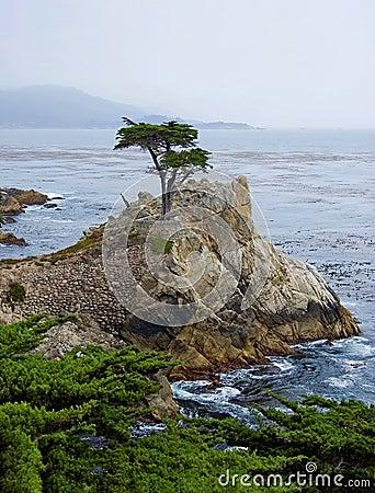 Lone Cypress Tree Editorial Stock Image