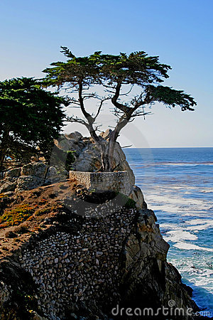 Lone Cypress Tree Editorial Stock Image