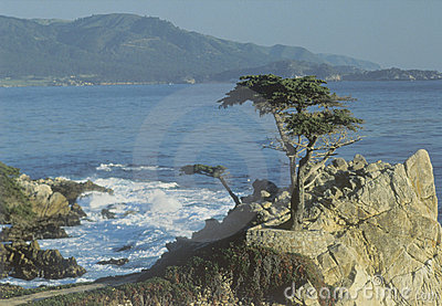 Lone cypress tree, Pebble Beach, CA Editorial Photography