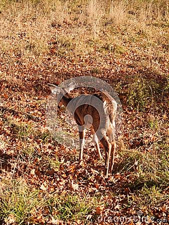 Lone deer in field