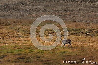 Lone Elk in Field