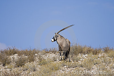 Lone Gemsbok