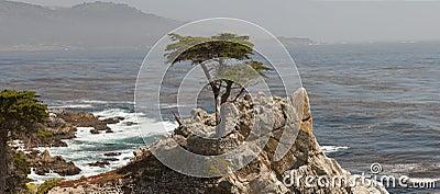 Lone Kalifornien cypress Redaktionell Arkivbild