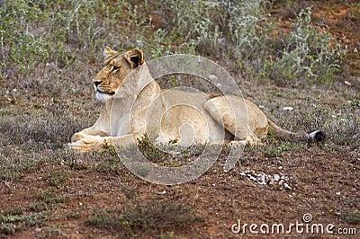 Lone Lioness