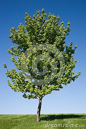 Lone Maple Tree